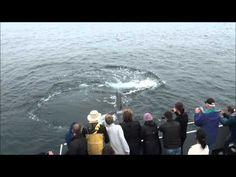 Whalewatch Bay of Fundy Brier Island Friendly Humpbacks eye to eye