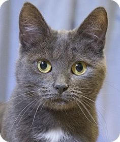 Chicago, IL - Russian Blue. Meet Ayla, a cat for adoption. http://www.adoptapet.com/pet/17104205-chicago-illinois-cat
