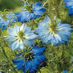 Nigella damascena 'Moody Blues (Love-In-A-Mist