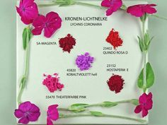 Rose Campion and Pigments