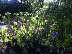 Allium på Gotland