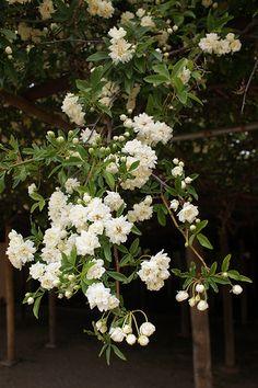 oldest rose bush in tombstone az - Google Search