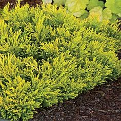"""One of the best low-growing Junipers, with its softer, more feathery texture, brighter yellow summer color, and fall hues of subtle coral. Spreads 3-5' in 10 years, but stays only 6"""" high, making it an eye-catching choice for a ground cover or front-of-the-border spot. Plant in morning sun, afternoon shade, and average soil, moist but well-drained. Juniperus horizontalis 'Gold Strike' ; 4"""" pot."""