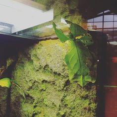"""Wir spielen """"finde das Insekt""""! Unter dem Blatt? Nein, es IST das Blatt! Und zwar handelt es sich hier um das """"Wandelnde Blatt"""", ein Insekt der Ordnung """"Gespensterschrecken"""", huuuhuuu  wieder was gelernt. Wo - im Mercado in Ottensen, im Rahmen der Natur- und Tierausstellung. Sie läuft noch bis zum 20.02. weitere Infos und einen kleinen Bericht findet ihr auf unserem Blog stadtschwalben.com #Mercado #hamburg #Ottensen #hamburgmitkindern #stadtschwalben #stadtschwalbenunterwegs"""