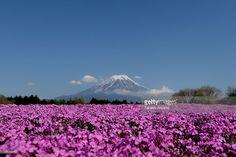 Shibazakura (Moss phlox) bloom in front of the Mt.Fuji during the Fuji Shibazakura Festival at Ryujin-ike Pond on April 30, 2016 in Fujikawaguchiko, Japan. About 800,000 moss phlox flowers are in full bloom at the festival held near the Mt. Fuji.