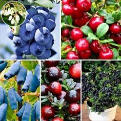 Super ofertă! Arbuști fructiferi Perla Siberiei, set de 5 soiuri | Most often bought GradinaMax