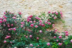 Rosen in Plascassier an der Côte d'Azur Antibes, Freundlich, Plants, Travel, Flora, Plant, Planting