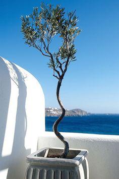 a trained Olive tree grown in an old porcelain urn (Apollonia Resort - Mykonos) Greece Tours, Greece Travel, Mykonos Island, Santorini Greece, Beautiful Beaches, Beautiful Gardens, Greek Blue, Paros, Corfu