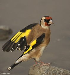European Goldfinch (Carduelis carduelis) A standing bird with open wings.