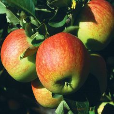 James Grieve Raised by James Grieve in Edinburgh, Scotland and introduced by his employers, Dickson's nurserymen. Fruits have soft but very juicy flesh with a good Buy Apple, Fruit Trees, Fertility, Scotland, Plants, Apples, Cooker, Hair Styles, Garden