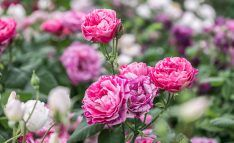 This year's Chelsea Flower Show rose garden features an impressive pergola walkway, offset by soft rose hedges. Rose Hedge, Chelsea Flower Show 2018, David Austin Roses, Garden Features, Hedges, Exhibit, Gallery, Plants, Beauty