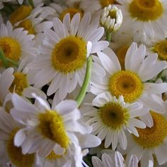 Daisy flowers are a symbol of innocence and purity.