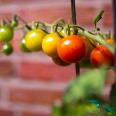 Tomaten pflanzen: Reiche Ernte aus dem eigenen Garten   BRIGITTE.de