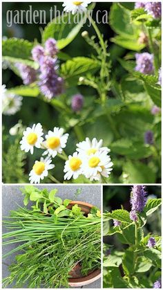 Rosemary, sage, thyme, chamomile, anise hyssop, and other perennial herbs that are perfect for container growing.