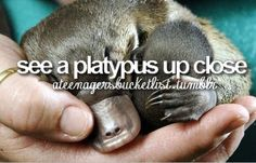 see a platypus up close... I do everyday since my car looks exactly like a platypus.