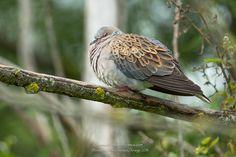 European Turtle Dove (Streptopelia turtur) >>by Christophe RAMOS Turtle Dove, Rodents, Amphibians, Bird Watching, Pigeon, Wildlife, Creatures, Birds, Pets
