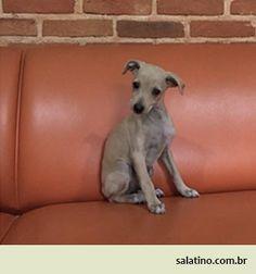 Italian Puppy  #dog #salatino #clubesalatino #canil #perro #dogs #cute #love #nature #animales #dog #ilovemydog #ilovemypet #cute #galgos #greyhound #galgoespanhol #galgo