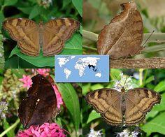 Chocolate Pansy   Junonia iphita   Wingspan: 2.3 to 3.0 in  Family: Nymphalidae   Subfamily: Nymphalinae   Tribe: Junoniini  Photos © Ryan G. Fessenden
