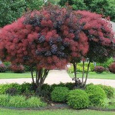 See our large selection of Smoketrees for your landscape or garden, delivered… Garden Shrubs, Garden Trees, Lawn And Garden, Garden Plants, Herb Garden, Outdoor Plants, Outdoor Gardens, Smoke Tree, Baumgarten