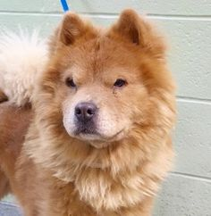 TO BE DESTROYED 01/05/17 **ON PUBLIC LIST** A volunteer writes: Somehow, Lion reminds me of another breed than a Chow Chow..Those long legs, slanted eyes and pointy muzzle...Could he be a cross with a Samoyed? He is certainly a gorgeous young man well dressed and well groomed in a strawberry blond and red coat. He can be found at his door, sometimes, letting out a short bark to remind you that he exists... Leashed easily, Lion reveals himself to be a good walker, marking here and there his…