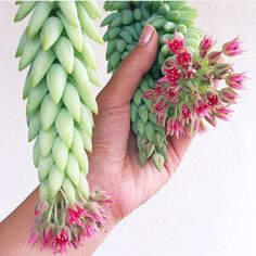Succulent/Cactus lover % Donkeys tail in bloom is just absolutely gorgeous! Succulent Gardening, Cacti And Succulents, Planting Succulents, Planting Flowers, Vegetable Gardening, Garden Trees, Garden Plants, House Plants, Dorm Plants
