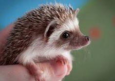 Hedgehogs are so cute