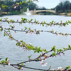 Springtime photos of Branch Brook Park Newark park photos. The Newark-Belleville park has the largest number of cherry blossom trees in the US through the generosity of Caroline Fuld Bamberger. #NewarkNJ #spring #BranchBrookPark #park #flowers #flowersofinstagram