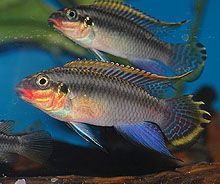 """One of the original imported """"kribensis"""" types from Nigeria, was, until recently, sold as Pelvicachromis pulcher. http://www.cichlidnews.com/issues/2015apr/whatsnew.html"""
