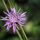 Centaurea maculosa von Jasardpu