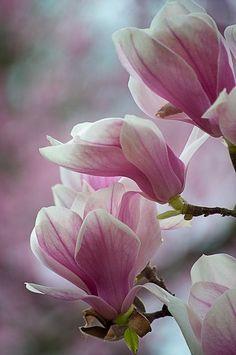 Pink Japanese Magnolia Tulip Tree.