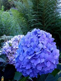 Nikko Blue Hydrangeas for Sale | The Planting Tree