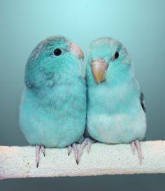 budgies, birds, little birds