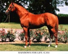 Rainbows For Life(1988)(Colt) Lyphard- Rainbow Connection By Halo. 4x4 To Almahmoud, 5x5 To Hyperion. 36 Starts 15 Wins 7 Seconds 7 Thirds. $1,105,926. Won Coronation Futurity(Can-1), Cup And Saucers S(Can-1), Connaught Cup S(Can-2), Dominion Day H(Can-3), Riggs H(G3T), Hawthorne Derby(G3T), New Hampshire Sweepstakes (G3).