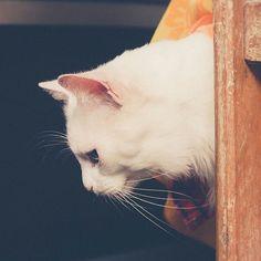 Gluttony 1/2 :: Projeto Xerimbabo ~  #petphotography #fotografiapet #pet #animal #animaux #bicho #amobicho #bichano #gato #mãedegato #horadogato #gatosbrasil #loucadosgatos #instagato #gatto #chat #neko #nekostragam #cat #catlovers #catsofinstagram #instacat #caterday #lovecats #meowmeow #canon #canonbr #135mm #xerimbaboproject