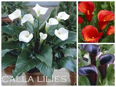 Ten Bulbs to Plant in the Spring for Summer Garden Color {Container Bulb Choices} - bystephanielynn  Calla lilies!!!