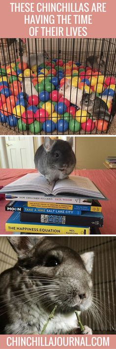 These Chinchillas Are Having The Time Of Their Lives
