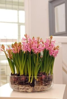 Pink hyacinths in a glass bowl