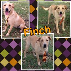 Finch is a lab mix that is 10 months old