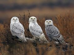 Snow owls      SNOW OWL-1C (by Evergreen_Photography)