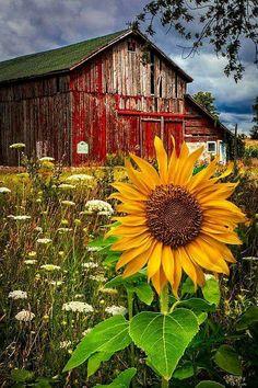 Beautiful barn and sunflower.