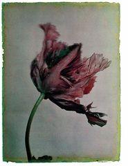 Leendert Blok: Silent Beauties, Color Photographs from the 1920s, TULIPA, Bleu celeste