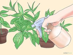 Use Home Remedies to Get Rid of Gnats Step 14.jpg