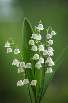 lily of the valley flowers - Bing images Pretty Flowers, Purple Flowers, Spring Flowers, White Flowers, Exotic Flowers, Tropical Flowers, Lilies Flowers, Gift Flowers, Autumn Flowers