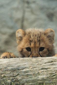 *Cheetah Cub