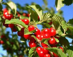 Madalakasvuline varajane õitseja ja kaunilt viljuv sort. Väga dekoratiivne - sobib soolopuuks, aga ka istutusaladesse. Õitseb maikuus rikkal...
