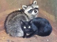 Officer Rescues Kitten, Raccoon Found Cuddling for Warmth in Dumpster