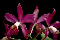 Orchid: Cattleya - Flickr - Photo Sharing!
