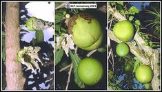The bat-pollinated flowers and large, gourd-like fruits of the calabash tree (Crescentia cujete) literally grow out of the trunk of this striking tropical American tree.
