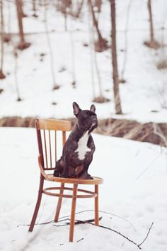 frenchie + chair + snow