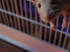 Comma the rat having a look Rats, Animals, Animales, Animaux, Animal, Animais